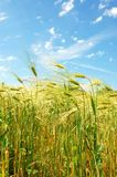 Wheat field. Fresh field of wheat in the summer Royalty Free Stock Photo
