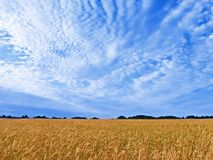 Wheat field. On a sunny day Royalty Free Stock Photo