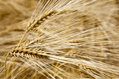 Wheat field. Foto showing a close up of a wheat field symbolizing biological agriculture Stock Image