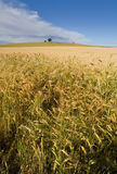 Wheat field. Typical wheat field in macedonia Royalty Free Stock Photo