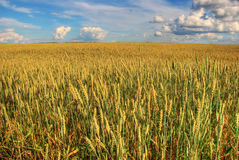 Wheat field. Blue sky with clouds and wheat field Royalty Free Stock Photo