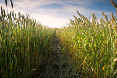 In the wheat field Royalty Free Stock Photos