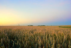Wheat field. At the rising sun Royalty Free Stock Photography