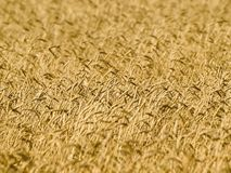 Wheat field. Stock Photo