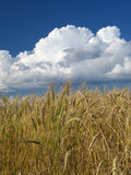 Wheat field. Under the blue cloudy sky stock photography