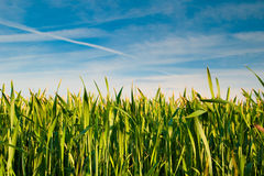 Wheat field. On blue sky background royalty free stock photography