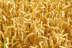 Wheat field. Golden wheat ready for harvest growing in a farm stock photo