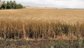 Wheat field. Ready for harvest in Kenya Royalty Free Stock Photos