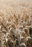 Wheat field. A field of ripe wheat ready for harvesting Stock Images