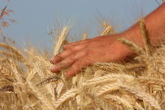 Wheat field. With hand holding, ripe corn Stock Photography