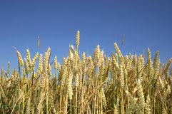 Wheat field. A wheat field against a blue sky Stock Images