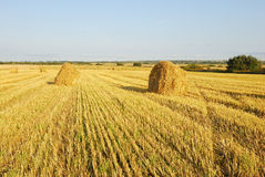 Wheat field. Ripe wheat field, agriculture, harvest Stock Image