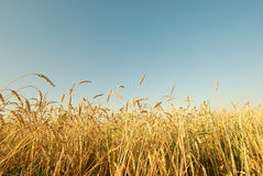 Wheat field. Ripe wheat field, agriculture, harvest Stock Photography