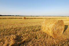 Wheat field. Ripe wheat field, agriculture, harvest Stock Photos
