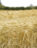 Wheat field. Ripe wheat background. close up of wheat ears Royalty Free Stock Photos