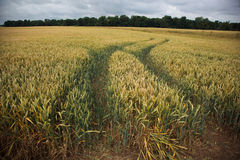 Wheat Field. A photograph of tractor tracks in a wheat field Royalty Free Stock Image