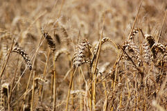 Wheat Field. Close up of some ears of wheat in a field awaiting harvest. Hampshire, England. Shallow depth of field stock image