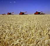 Wheat field. Harvesting machines working in wheat fields under a blue sky royalty free stock image
