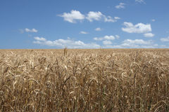 Wheat field. Wheat ready to be harvest under a blue sky and white clouds Stock Images
