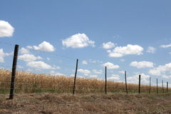 Wheat field. With a fence in the fore ground under a blue sky Stock Photography