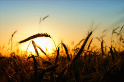 Wheat in the field Royalty Free Stock Photography