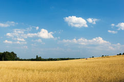 Wheat field. With cloudy summer sky Royalty Free Stock Photos