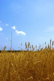 Wheat field. Ripened spikes of wheat field against a clear blue sky Royalty Free Stock Photos