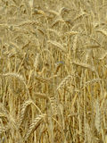 Wheat field. Golden wheat ready for harvest Stock Photo