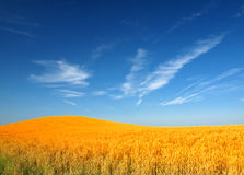 Wheat field. And blue sky Royalty Free Stock Photography