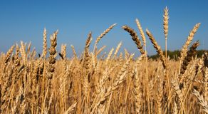 Wheat field. Field of ripe wheat and blue sky Stock Image