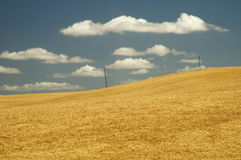 Wheat field 13. Ripe wheat ready for harvest in the Palouse area of southeastern Washington state Royalty Free Stock Image