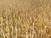 Wheat field. Background of ripe golden wheat field Stock Images