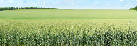 Wheat field. Panorama of the wheat field Stock Photos