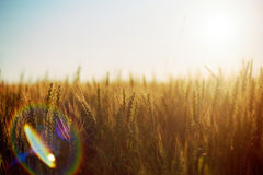 Wheat field. The sun and wheat field Royalty Free Stock Photography