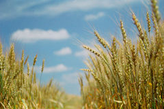 Wheat field. In Russia in august Stock Photos