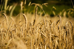 Free Wheat Field Stock Photos - 13340053