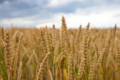 Free Wheat Field Royalty Free Stock Images - 13388389