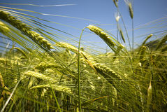 Wheat field Stock Image