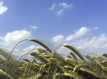 Wheat field. Close up Stock Photography