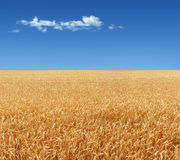 Wheat field. Panorama of the wheat field Royalty Free Stock Photo