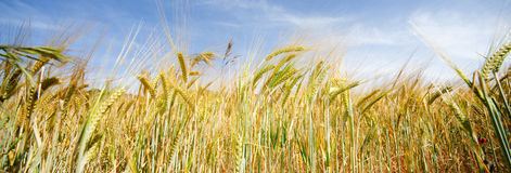 Wheat field. Frontal image of wheat field royalty free stock photos