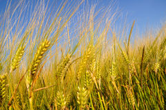 Wheat field. Wheat in a field with blue sky stock image