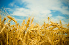 Free Wheat Field Stock Photography - 15285082