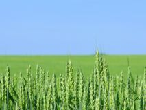 Wheat field. Royalty Free Stock Photos