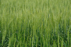 Wheat field Royalty Free Stock Image