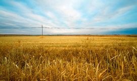 Wheat field. And blue sky royalty free stock photos