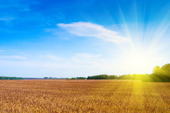 Wheat field. Wheat big field in beams of a bright sunlight Royalty Free Stock Photography