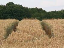 Wheat field. KONICA MINOLTA DIGITAL CAMERA Royalty Free Stock Photography
