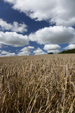 Wheat field. In summer with blue sky and white clouds Stock Photos