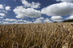Wheat field. In summer with blue sky and white clouds Royalty Free Stock Images